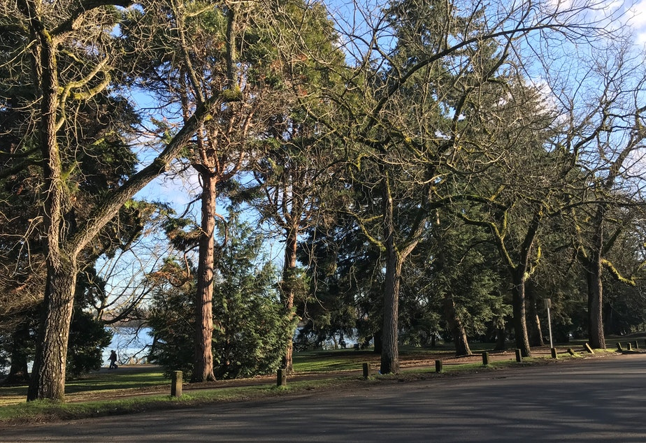 The row of over 50 Black Walnuts was planted in 1919 in memory of soldiers from Seattle who died in World War 1