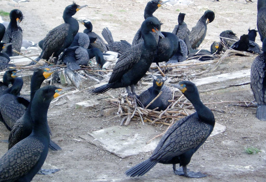 caption: Double-crested cormorants on East Sand Island near the Columbia River mouth in 2007.